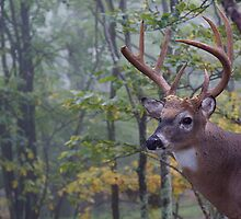 Whitetail Buck Deer Portrait in deciduous forest habitat by TomReichner