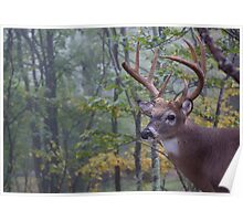 Whitetail Buck Deer Portrait in deciduous forest habitat Poster