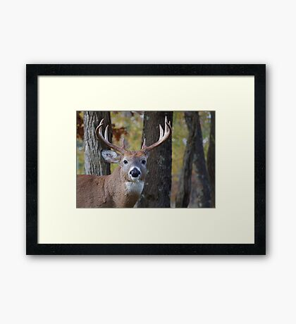 Whitetail Buck Deer Portrait in deciduous forest  Framed Print