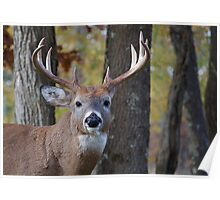 Whitetail Buck Deer Portrait in deciduous forest  Poster