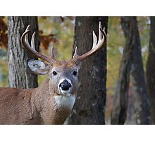 Whitetail Buck Deer Portrait in deciduous forest  Photographic Print