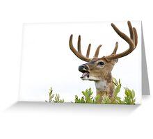 White-tailed Buck Deer with velvet antlers, summer portrait Greeting Card