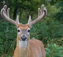 White-tailed Buck Deer with velvet antlers, summer portrait  by TomReichner
