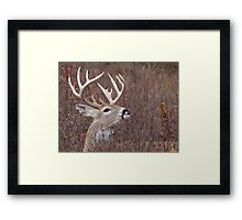 White-tailed Buck Deer with non-typical antlers, portrait Framed Print