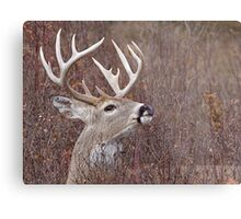 White-tailed Buck Deer with non-typical antlers, portrait Metal Print