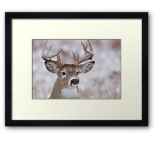 White-tailed Buck Deer with non-typical antlers, winter portrait Framed Print