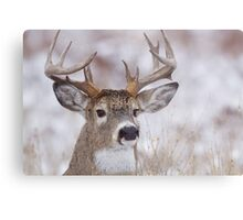White-tailed Buck Deer with non-typical antlers, winter portrait Metal Print