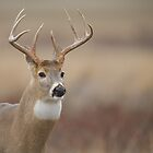 Whitetail Buck Portrait   by TomReichner