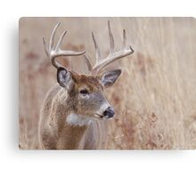 Whitetail Deer Portrait, Trophy Buck in prairie habitat Metal Print