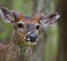Whitetail Deer Portrait, Buck with newly emergent antlers by TomReichner