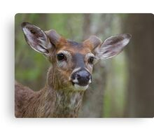 Whitetail Deer Portrait, Buck with newly emergent antlers Metal Print