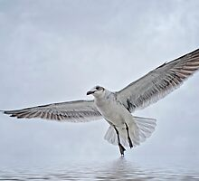 Galveston Gull by Bonnie T.  Barry