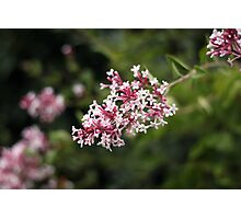 Pink lilacs Photographic Print