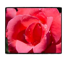Red Rose in Summertime Photographic Print