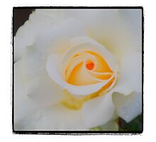 Yellow White Rose by gloriart