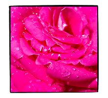Viciously Hot Pink Rose by gloriart