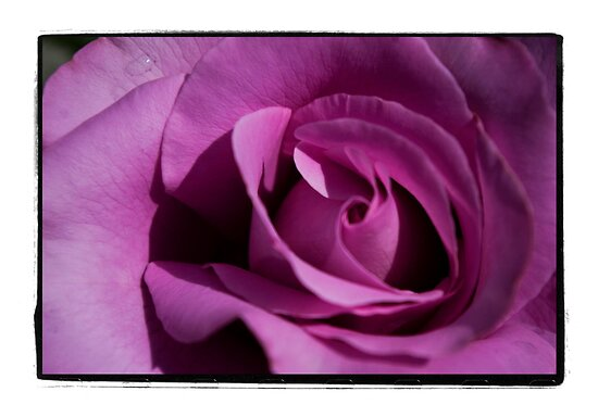 Flimsy, flowy, Dark Pink Rose by gloriart