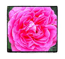 Think Pink Rose Photographic Print
