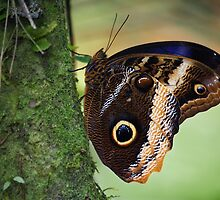 Caligo-butterfly by jimmy hoffman