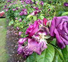 Rose Garden by Andrea  Muzzini