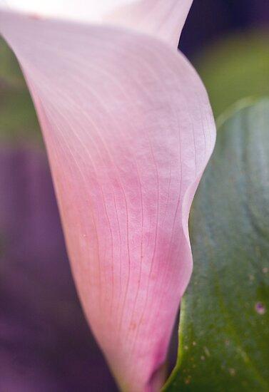 Artistic Arum Lily by jayneeldred