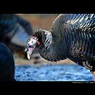 Meleagris Gallopavo Silvestris - Eastern Wild Turkey by © Sophie Smith