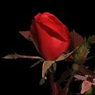 Red Rose by Tony Wilder