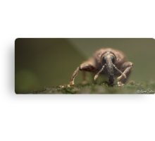 'A Weevils Swagger' Metal Print