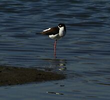 Black-necked Stilt by fototaker