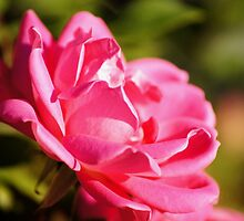 Rosy by dbatiste
