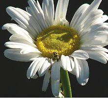 Montauk Daisy by dbatiste