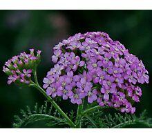 Purple Fleur Photographic Print