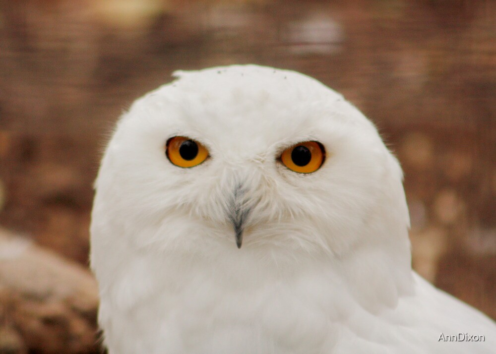 Friendship : Snowy Owl Eyes by AnnDixon