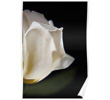 Sunny white rose Poster
