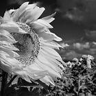 Windblown Sunflower by Julie Begg