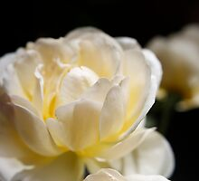 Cheerful rose by papillonphoto