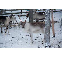 Reindeer - Äkäslompolo, Ylläs, Lapland Photographic Print