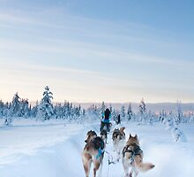 Husky Sledge, Lapland by Tim Topping