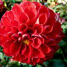 The red pompon dahlia by bubblehex08