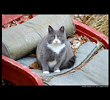 Felis Catus - British Blue And White Bicolor Shorthair  Male Cat by © Sophie W. Smith