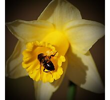 A Bee in January Photographic Print
