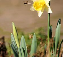 The First Daffodil of the Year by rubyrainbow