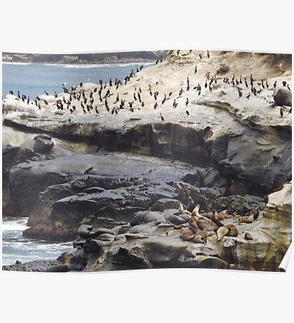 Sea Lions & Cormorants Poster