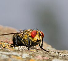 Red eye fly 01 by kevin chippindall