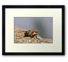 Red eye fly 01 Framed Print
