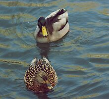 One duck, two duck. by amylauroo