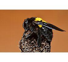 Bumble Bee.......... Photographic Print