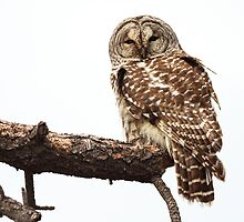 Barred Owl: Out on a Limb by John Williams