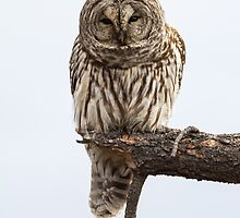 Barred Owl  by John Williams