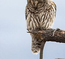 Barred Owl: Concentration by John Williams